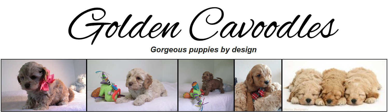 Golden Cavoodles